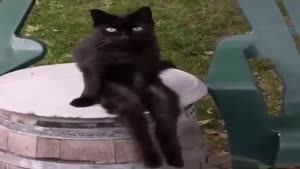 گربه سانتی مانتال