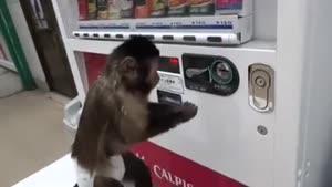 بچه میمون بازیگوش