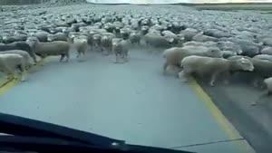 گوسفندان تمام نشدنی