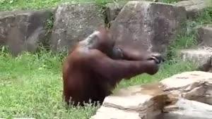 چطور یک اورانگوتان در تابستان خودش رو خنک میکنه