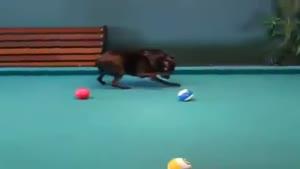 سگ بیلیاردباز
