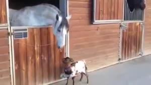 دوستی بره و اسب