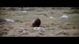 فرار و نجات بچه شیر از دست ببر