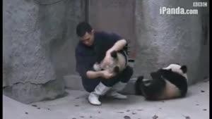 بچه پانداهای بازیگوش