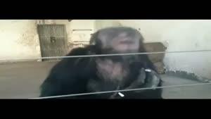 شامپانزه سیگاری