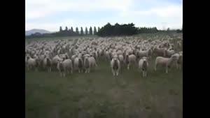 گروه سرود گوسفندها