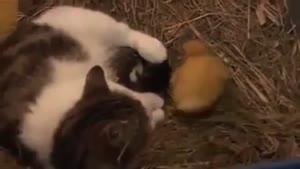 گربه ی که سرپرستی ۳ تا بچه اردک