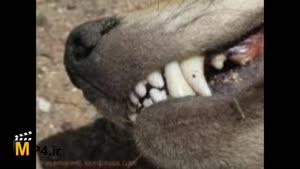 داستان کوتاه - دندان سفید