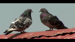 داستان کوتاه - کبوتر جهانگرد - قسمت اول