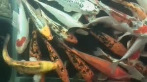 ماهی های خوش رنگ