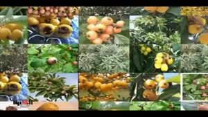 خواص میوه ها - ازگیل