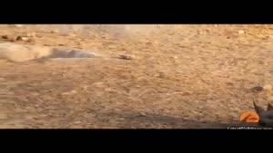 حمله سه شیر به یک کرگدن