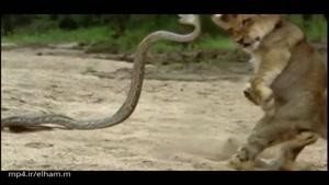 حمله مار به بچه شیر