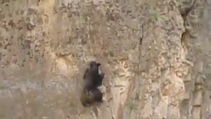 خرس صخره نورد !