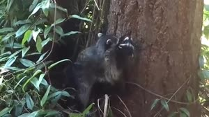 راکون مادر بالارفتن از درخت را به بچه اش یاد میدهد