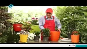 آموزش کاشت و نگهداری گیاه دراسینا کامپکتا