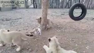 ایستادگی توله سگ درمقابل چند توله شیر برای دفاع از حقش 😅 مهم اینه بتونی از حق خودت دفاع کنی👌