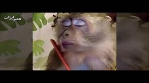 این میمونه خیلی با خودش حال میکنه !!!