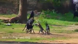 سواری گرفتن میمون بازیگوش از بز