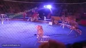درگیری بین شیرها و سیرک بانان