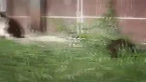 حمله ی یک موش شجاع به چند گربه ی در حال شکار!