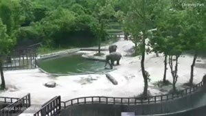 صحنه دیدنی نجات یک بچه فیل توسط دو فیل بالغ