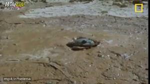 قورباغه عجیبی که دوسال بدون آب زنده میماند