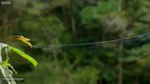 تار این عنکبوت ۲۵ متر پرتاب می شود