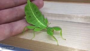 حشره ای متفاوت که شبیه برگ درخت است !