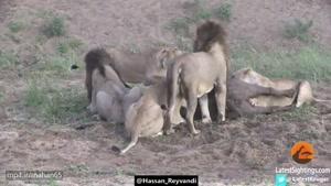 عجیب ترین رفتار شیر ها با گاو باردار