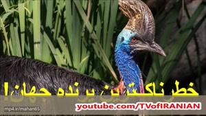 کاسوری، خطرناک ترین پرنده روی زمین! پرندهای با قابلیت های عجیب و غریب!