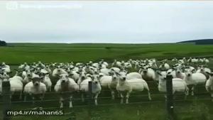 وقتی گوسفندا تورو از خودشون میدونن😁