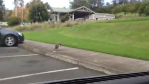دعوای خروس و طاووس سر دونه خوردن