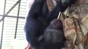 سیگار کشیدن میمون