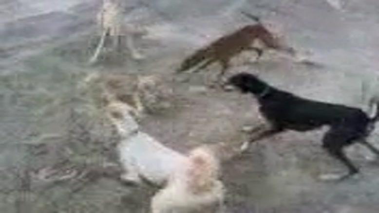 حمله سگها به گربه بیچاره