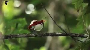 پرنده بهشتی فوق العاده زیبا