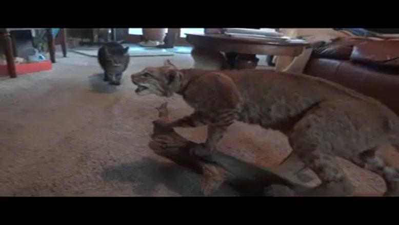 ترس گربه (آخرخنده)