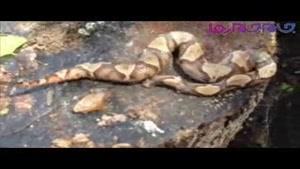 مار سر بریده بدن خودش را گزید !