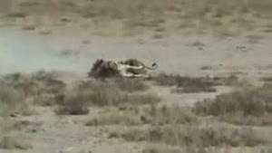 فرار گورخر از چنگال شیر