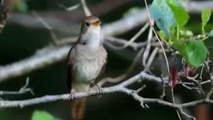 خوندن زیبای پرنده