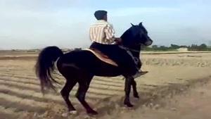 اسب نمایشی-اسب سواری-اسب-اسب عرب کری شمشاد