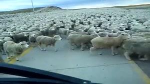 این همه گوسفند یکجا؟؟