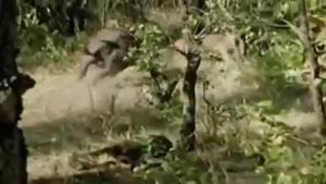 حمله بوفالو ها به شیر