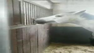 غذا دادن اسب ها به هم دیگه