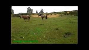 آرامش عجیب اسب های وحشی