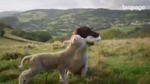 شیر دادن سگ به بره
