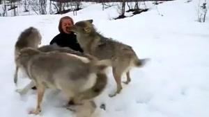 ارتباط دوستانه زن با گرگ ها