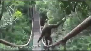 راه رفتن میمون روی طناب