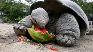 هندونه خوردن لاک پشت