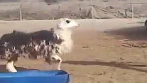مبارزه گوسفند و چوپان